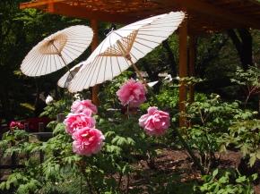 peony umbrellas