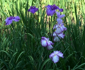 irises in the inner garden
