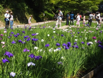 irises in the inner garden