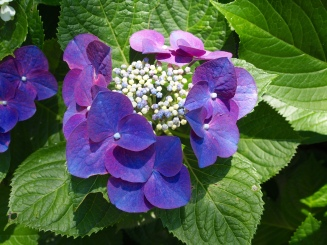 hydrangea at Kuzuharaoka Shrine