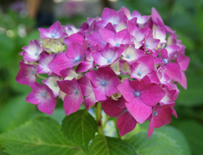 hydrangea at Kotoku-in Temple