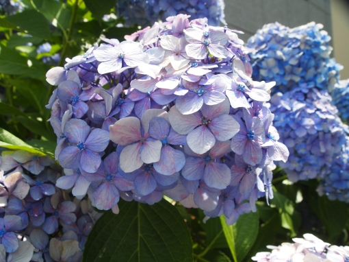 hydrangeas in Yanaka's temple area