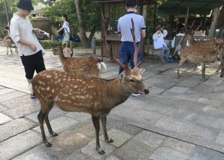 Nara's deer