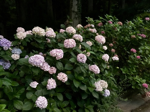 hydrangeas on the walk
